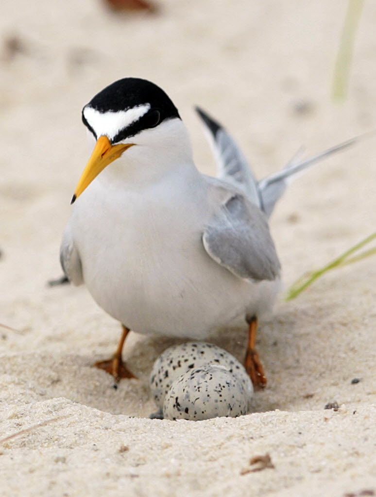 A least tern checks her two eggs on the beach in Gulfport, Miss.