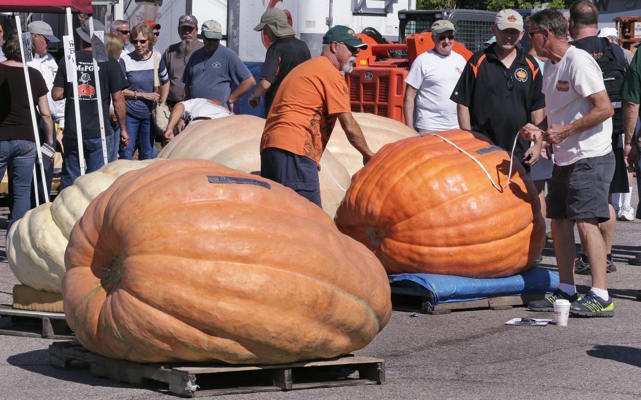 Un grupo de jueces examina calabazas gigantes para un concruso en la feria de Rochester, en New Hampshire. (AP/CHARLES KRUPA)