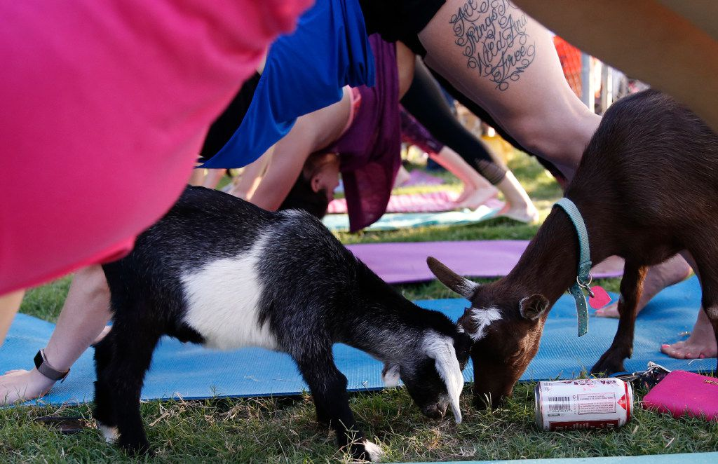 Goats nibble on grass during the first goat yoga class in Dallas on June 16, 2017.