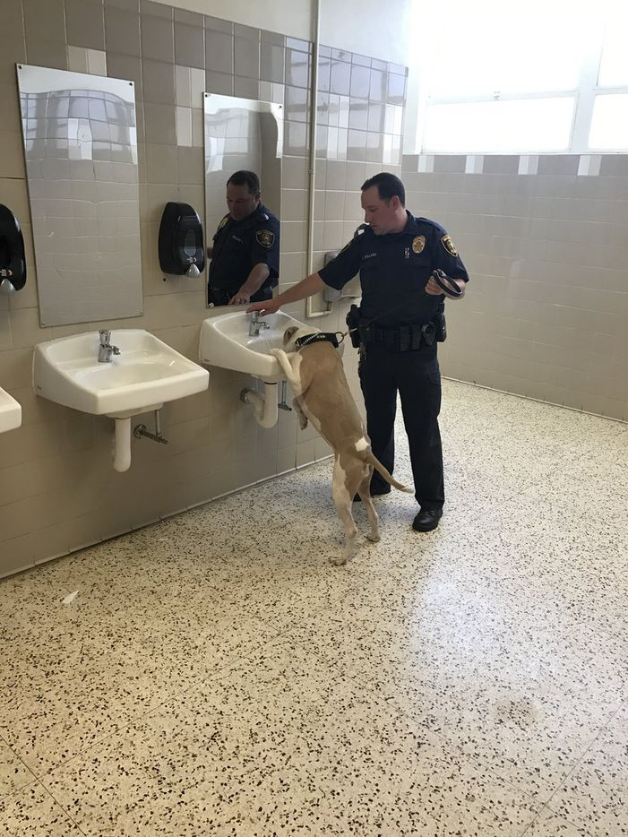 Athena took a water break Monday after sniffing around a Dallas ISD school. (Dallas ISD Police Department)