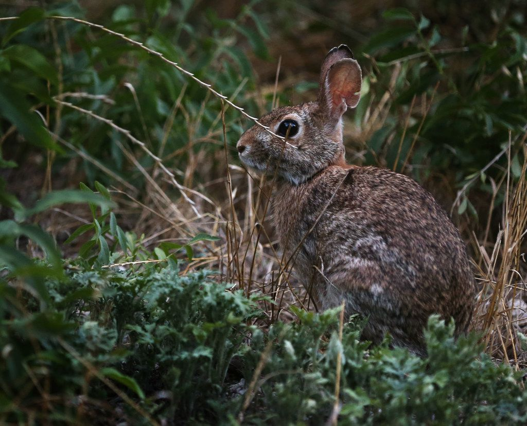 A cottontail rabbit pauses beside the trail in the early morning at Cedar Ridge Preserve in Dallas on Friday, June 29, 2018. (Rose Baca/The Dallas Morning News)