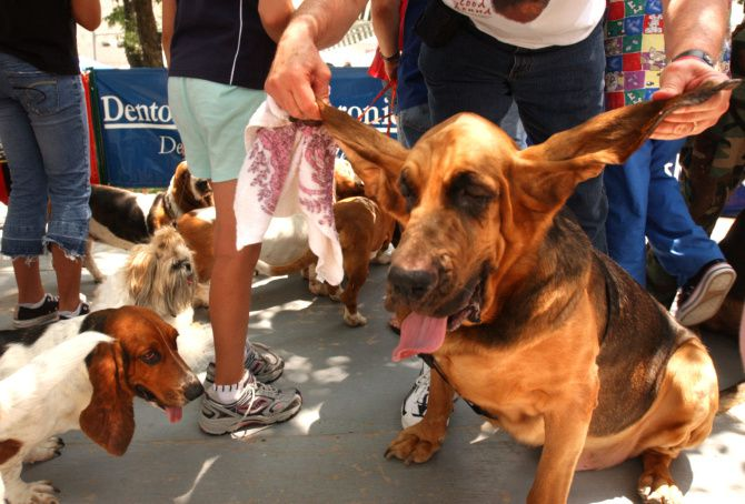 Longest ears is one of the categories in the Dog Days in Denton's annual Heinz 57 Dog Show, which is at 7 p.m. Friday.