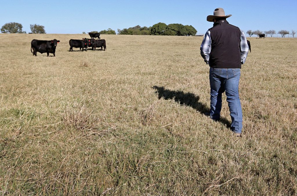 Cade Nichols of A Bar N Ranch walks toward a cattle grazing at the ranch in Sherman.