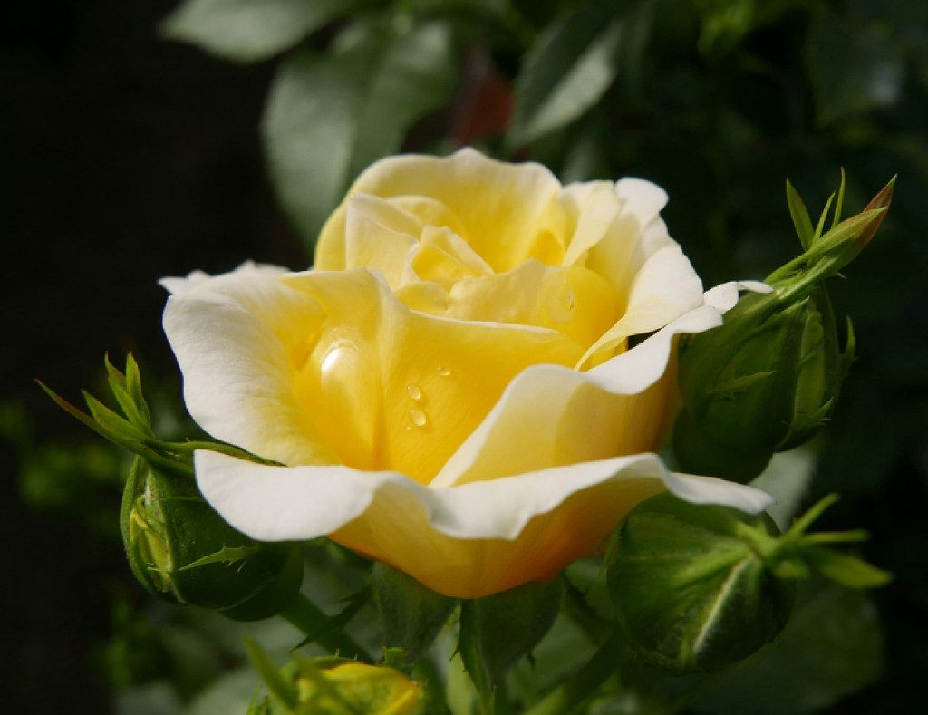 Yellow Brick Road rose from Easy Elegance Roses is a shrub.