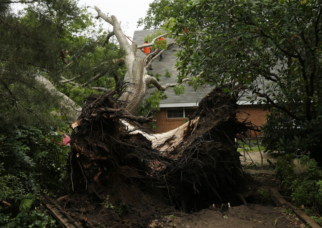 Manuel Alcantar trims a red oak from the roof of a house after Tuesday's tornado in Denton.