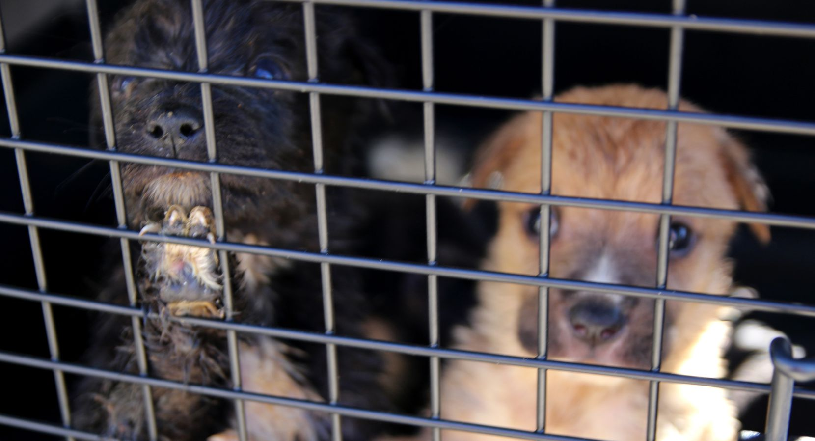 The SPCA of Texas and Van Zandt County Sheriff's Office seized 110 animals including 39 puppies, 35 dogs, 24 cats, 11 kittens and one horse Oct. 26 from a property near Canton after officials obtained warrants.