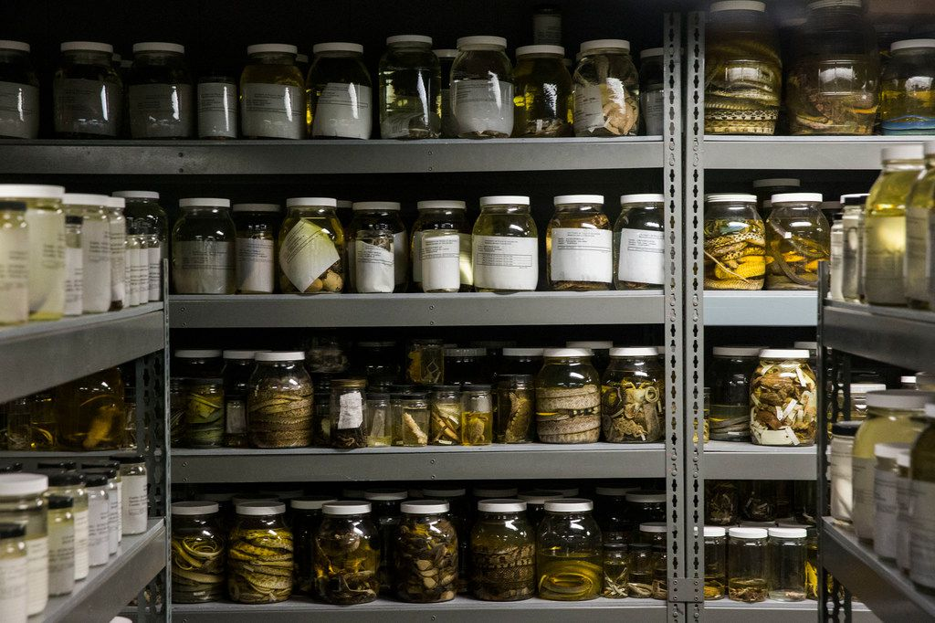 """Reptiles are preserved in jars of ethanol at the University of Texas at Arlington's Amphibian and Reptile Diversity Research Center. The newly named Cenaspis aenigma, which translates to """"mystery dinner snake,"""" is preserved the same way."""