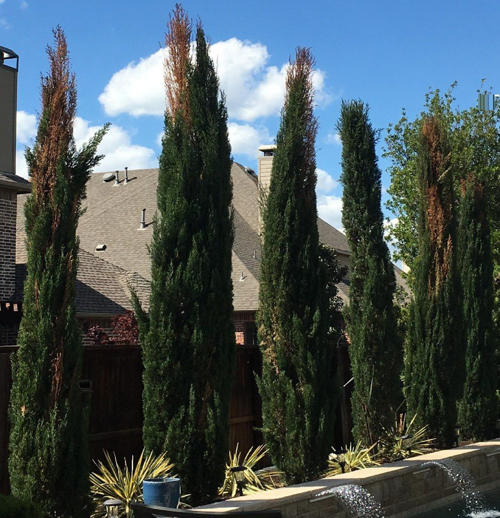 A row of Italian cypress exhibiting dead patches, which has been a widespread problem in the Dallas-Fort Worth area, are seen here in April in Lantana.