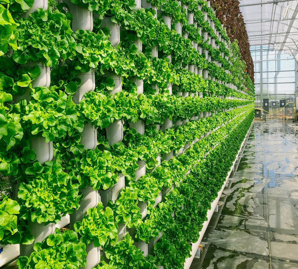 Eden Green Technology greenhouse located in Cleburne. The Dallas-based company is selling its lettuce under its Crisply brand in Walmart stores starting July 15.
