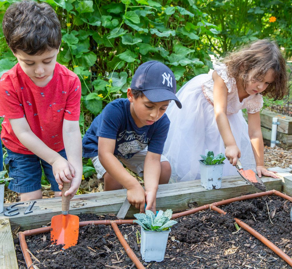 Pre-K students dig holes to plant kale in their school's garden at Temple Emanu-El  in Dallas.