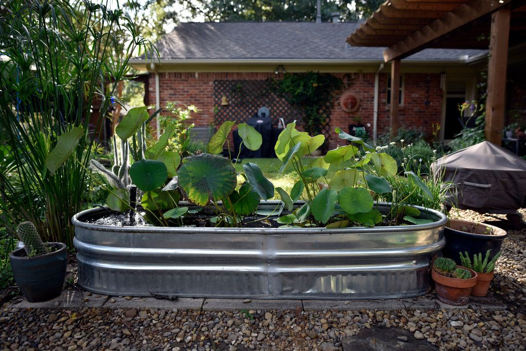 A lotus pond in the backyard of the Saucedo family's home in Dallas.