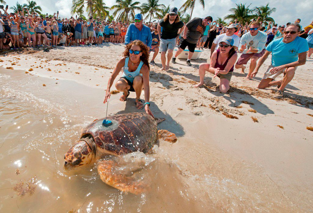 """An almost 200-pound loggerhead sea turtle dubbed """"Mr. T"""" crawled into the Atlantic Ocean on May 7 at Sombrero Beach in Marathon, Fla. The turtle was rescued in early February and received surgeries to remove a fishhook."""