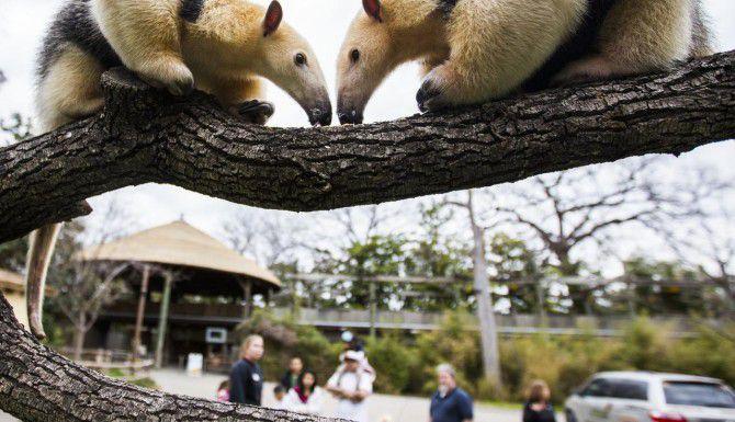 Los osos hormigueros MJ (izq.) y Chispa se alimentan sobre el tronco de un árbol en el Zoológico de Dallas. (DMN/ASHLEY LANDIS)