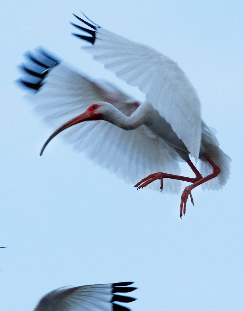 A white ibis prepares to land on branches at the nesting areas of the University of Texas Southwestern Medical Center rookery.