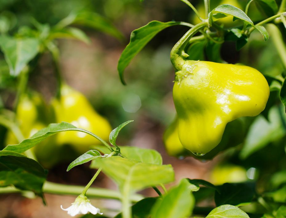 Sweet Mad Hatter peppers