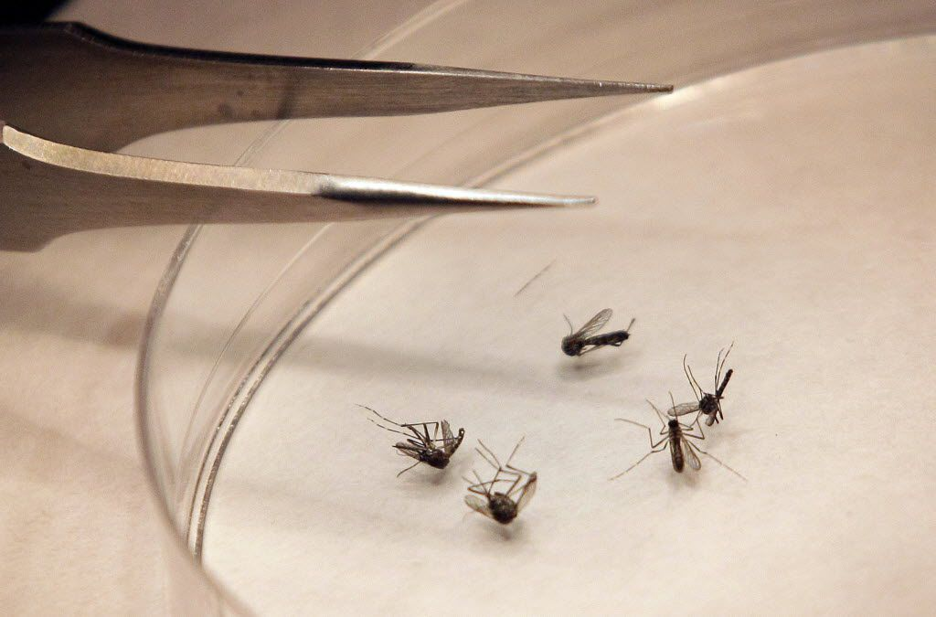 Mosquitoes are sorted at the Dallas County mosquito lab in Dallas.
