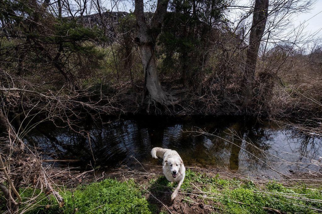 A neighborhood dog crosses a small creek, a tributary of Five Mile Creek.