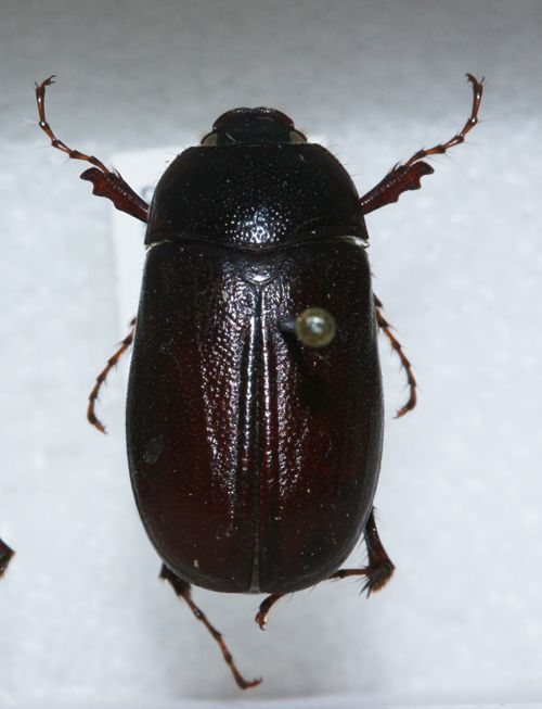 The Phyllophaga hirtiventris is what's called an 'early bird' scarab beetle that usually appears in April.