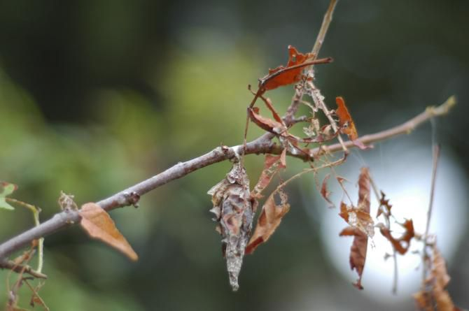 North Texas homeowners are seeing bagworms on eastern red cedars