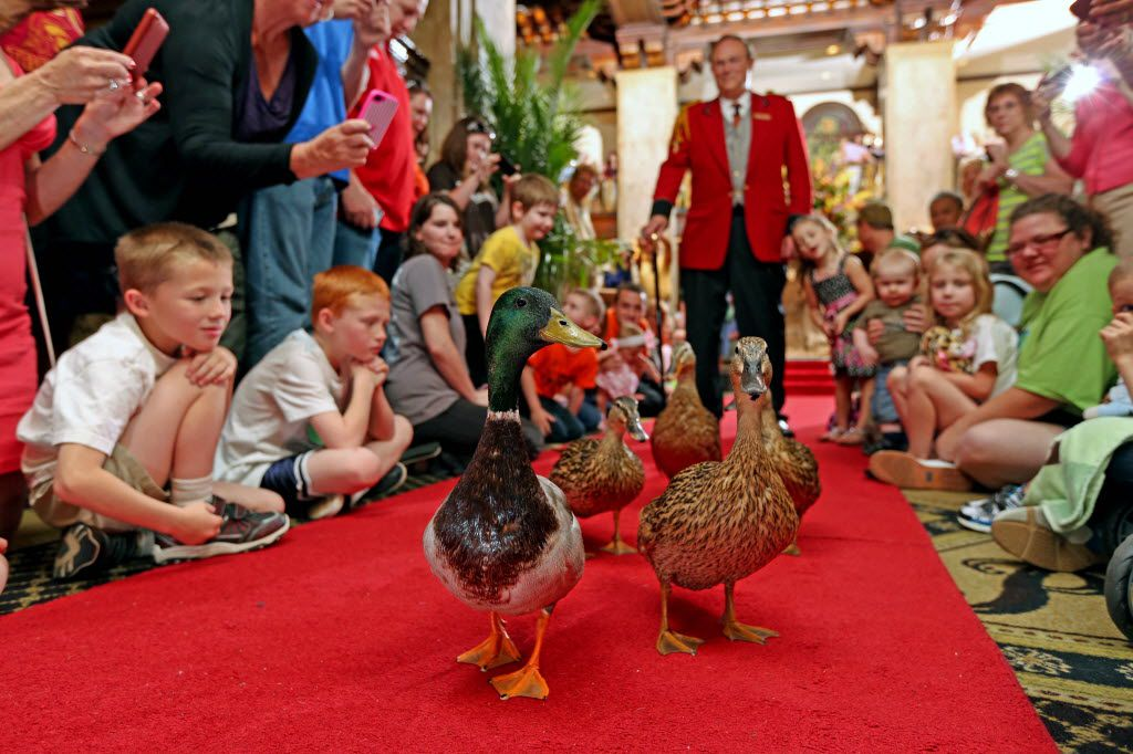 Ducks walk in The Peabody Memphis Hotel in Memphis. The ducks live at the hotel and parade through the lobby twice a day.