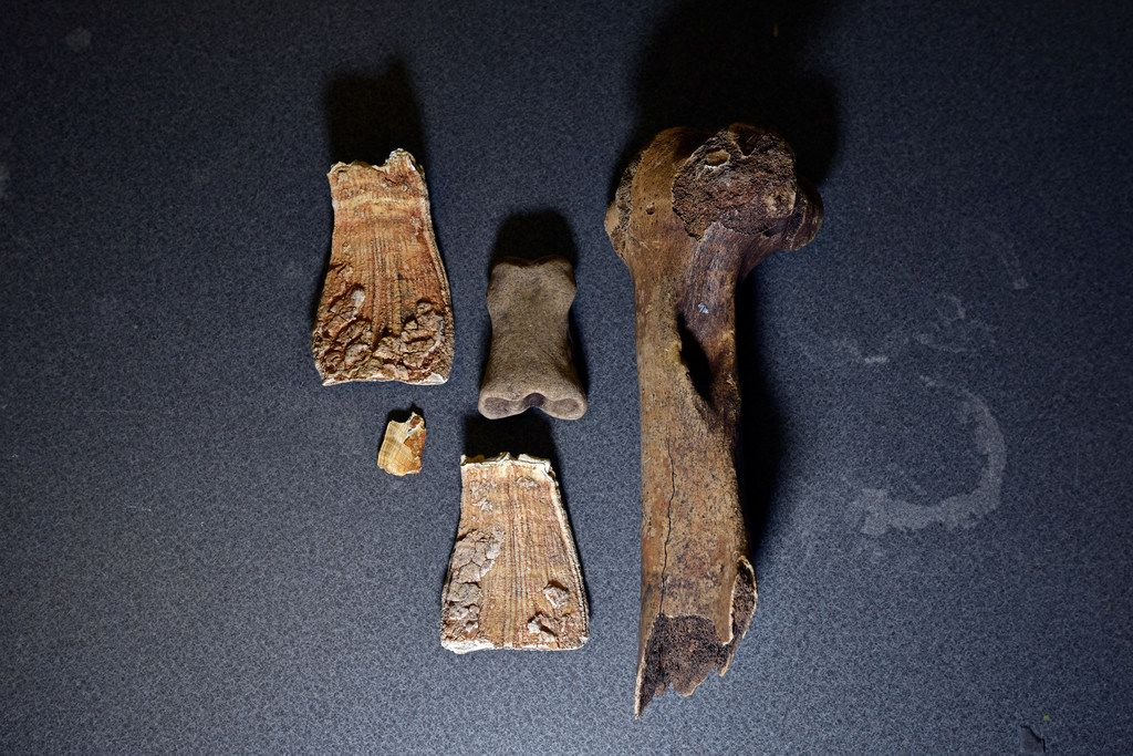 Fossils, including mammoth teeth (left), a horse bone and a bison bone discovered on the property of DFW International Airport