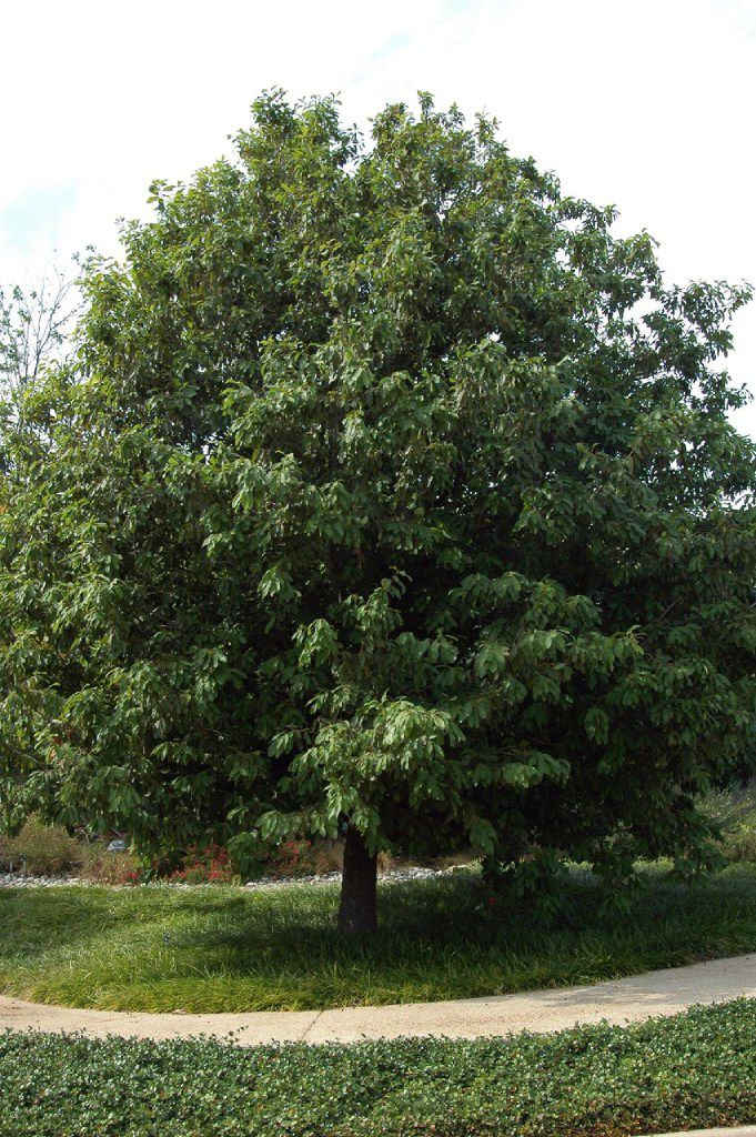 Mexican white oak (Quercus polymorpha), confusingly sold often as Monterrey oak, is evergreen most years, has leathery dark green  foliage, is much cleaner than live oak and doesn't get overpoweringly large.