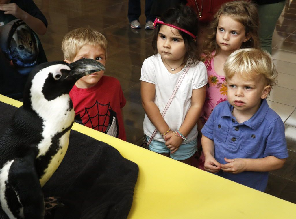 Left to right, Eli Jennings, 3, Grace Tornow, 3, Amelia Mooseller, 3, and Mason Mosseller, 2, keep a close eye on Jazz the penguin from the Dallas Zoo on Thursday, September 17, 2015. NorthPark Center took part in the North Texas Giving Day with hands-on philanthropic activities with area non-profit organizations.