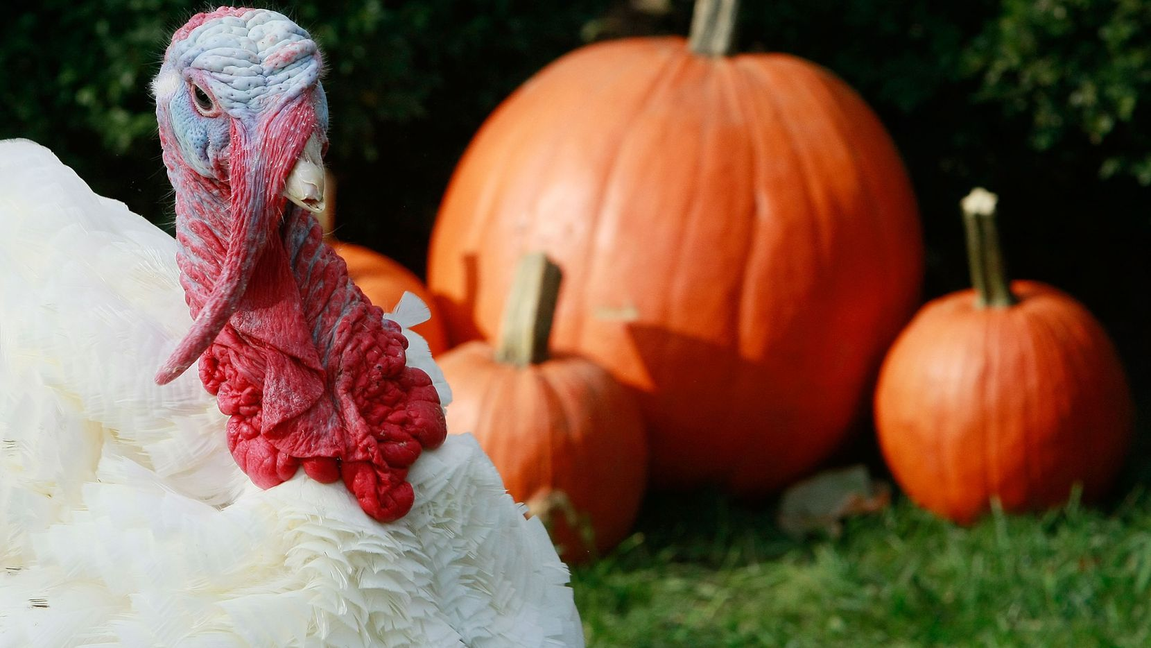 Dallas resident and former U.S. President George W. Bush pardoned this turkey named Pumpkin in 2008. That's as political as this Thanksgiving conversation will get.
