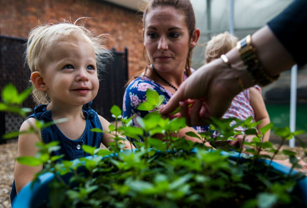 Palmer Richards, 1, looks up as she is offered to smell chocolate mint leaves as preschool students touch, smell and harvest herbs in the garden behind The Orchard School on Independence Way in Plano. Parents banded together to buy and license the school after its corporate owner, KinderCare, shut it down. Toddler teacher Heather Boles holds Harper Sipes, 1, at right.