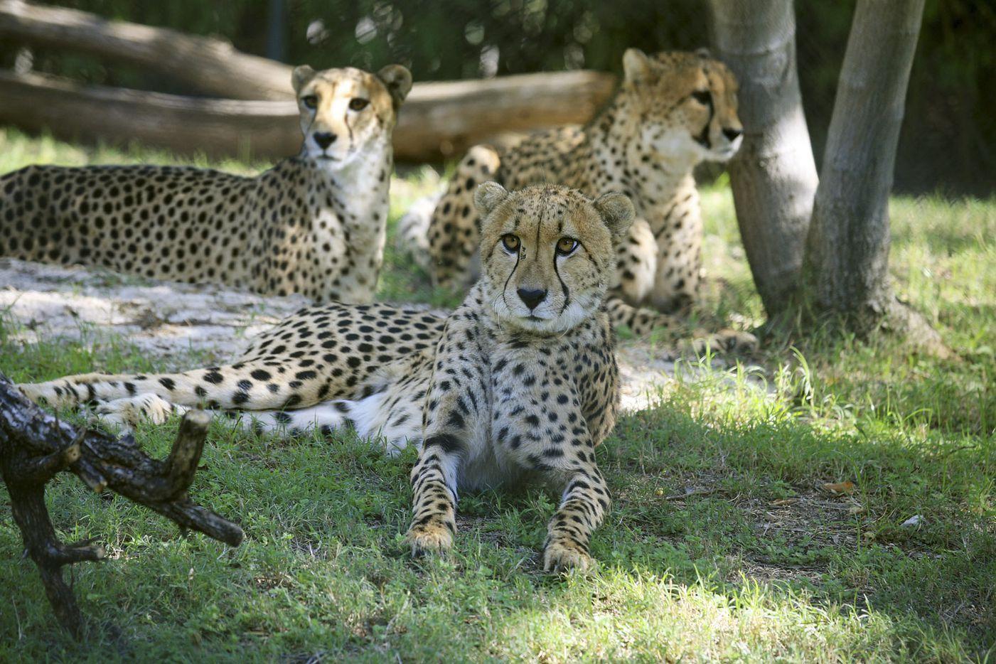 Kisutu lounges with Bonde and Kilima. (2008 File Photo/Dallas Zoo)