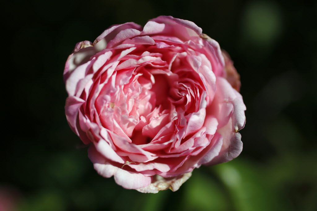 Duchesse de Brabrant at the National EarthKind Trial Rose Garden & Display Gardens in Farmers Branch in 2010.
