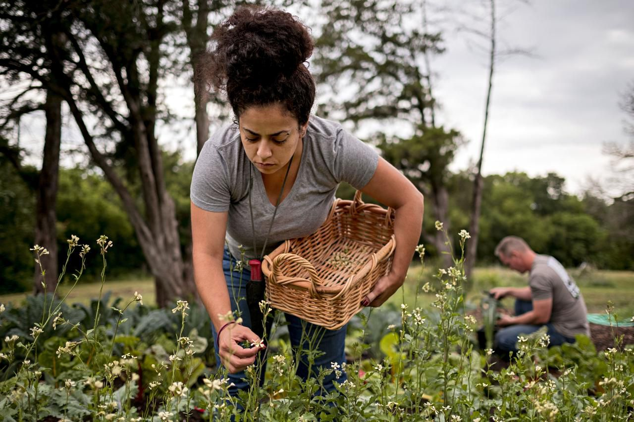 Hyat El-Jundi,  an intern with Farmers Assisting Returning Military, pulls flowers off crops at the 15-acre farm in DeSoto.