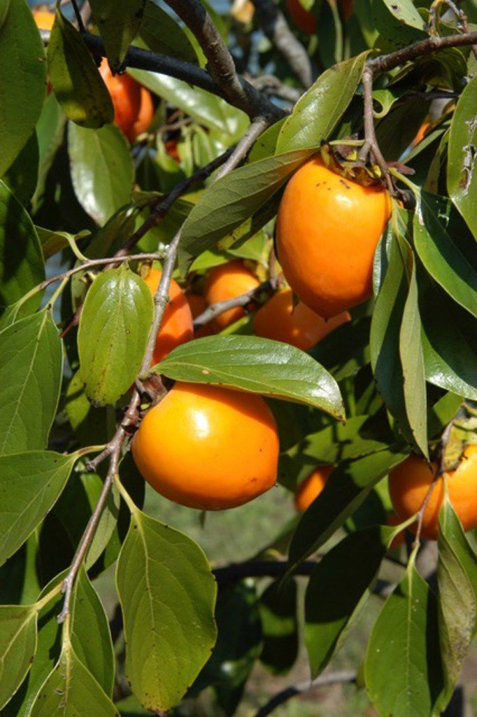 Japanese persimmons are a great choice for North Texas