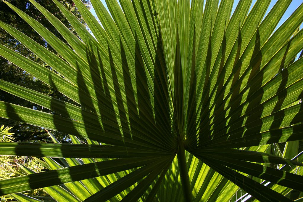 Several palm varieties can survive in North Texas.