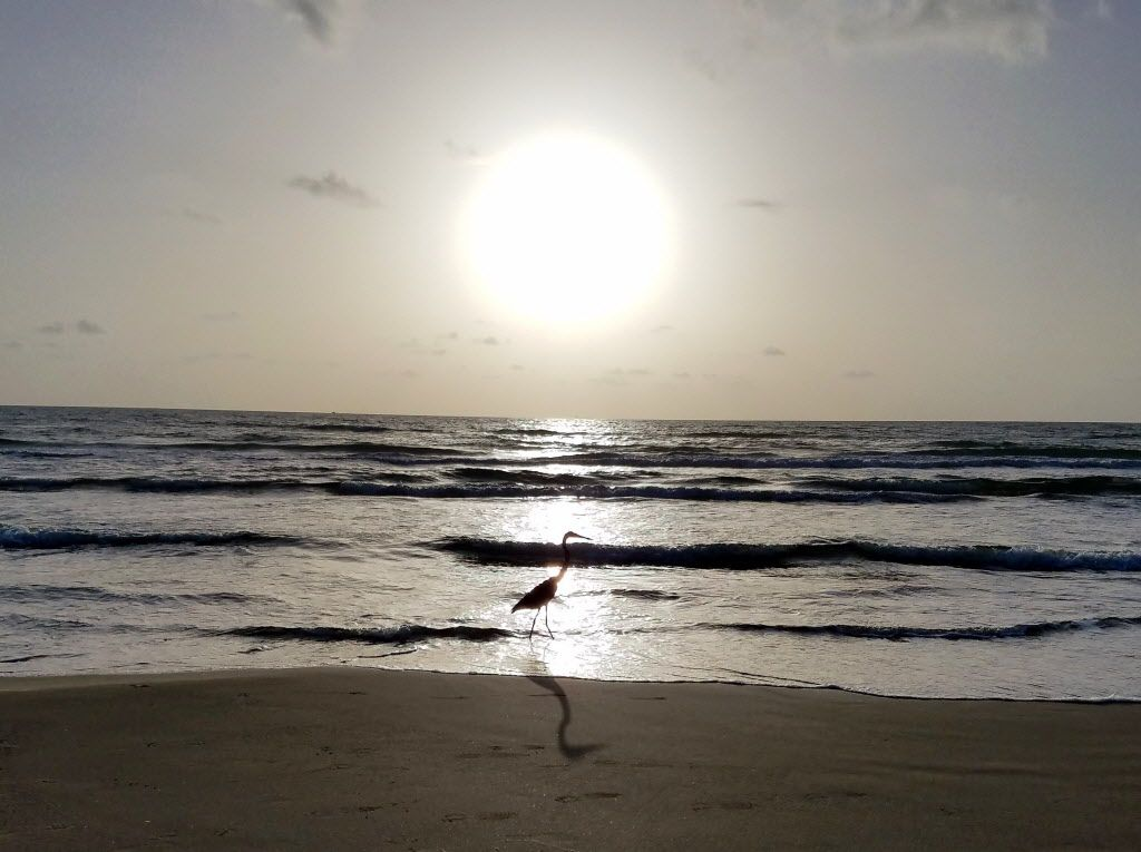 A heron stands in the Gulf of Mexico at South Padre Island during sunrise on a fall day. During summer, only gulls and pelicans are usually brave enough to land on the beach because of crowds. In the fall, though, more species show up on the sand. SOUTHPADREFALL