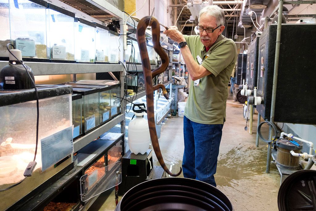 Bob Butsch, 71, lifts a snake at the Dallas Zoo herpetarium on March 13.