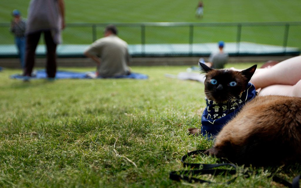 """JJ the cat during """"Take Meow to the Ballgame,"""" a day where cat owners are encouraged to bring their cats to the ballpark at Dr Pepper Ballpark in Frisco, Texas, Sunday, May 21, 2017."""