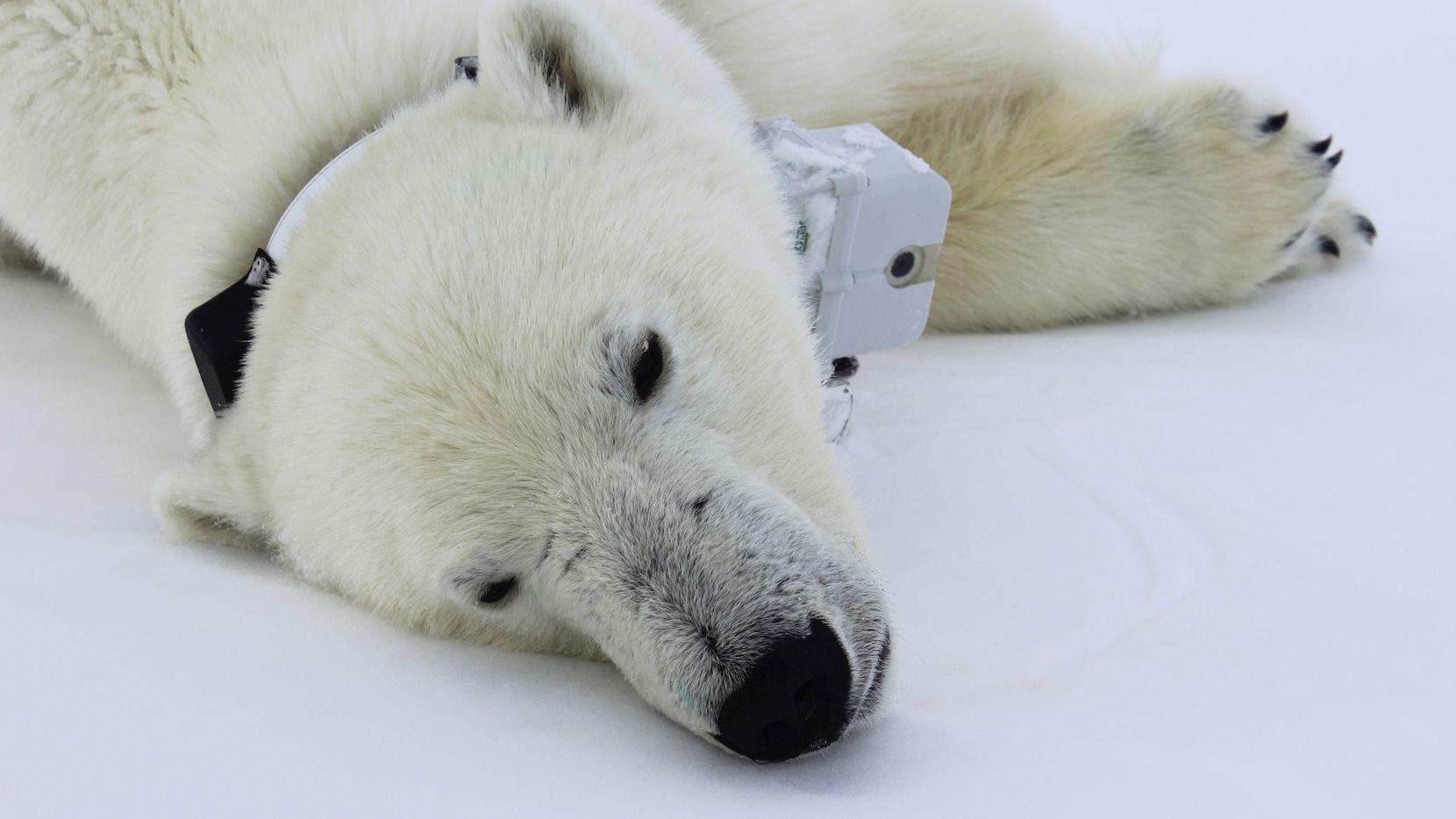 Un oso polar es equipado con un collar para monitorear su trayectoria en el ártico.AP