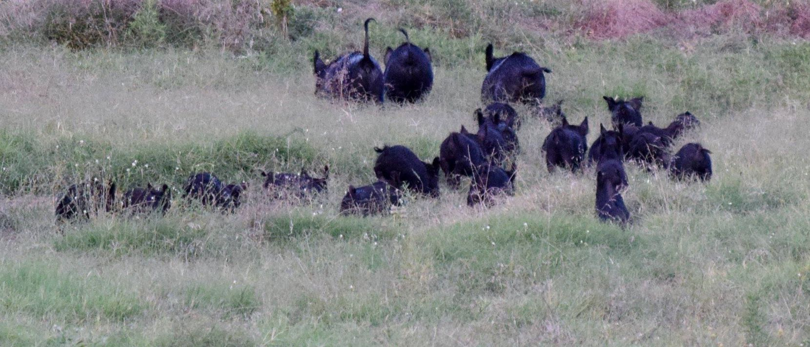 Feral hogs were recently spotted roaming near Big Spring.