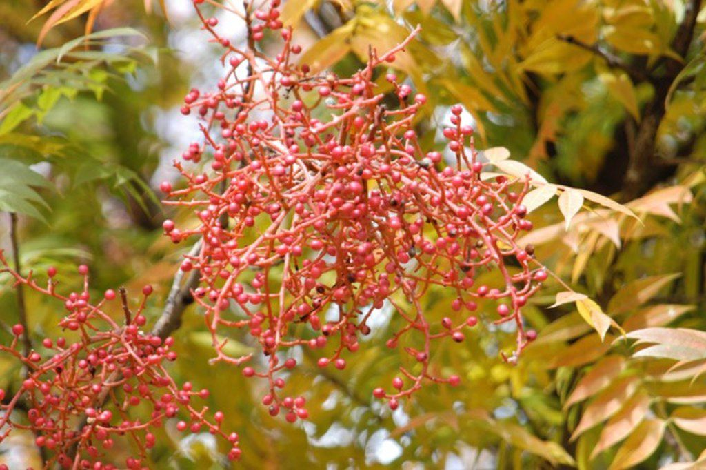 The Chinese pistache tree produces red berries.