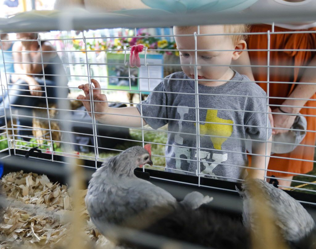 Henry Merrill, 1, looks at a chicken in the petting zoo at the Kidz Korner during the Wildflower! Arts & Music Festival in Richardson, TX on Saturday, May 16, 2015.