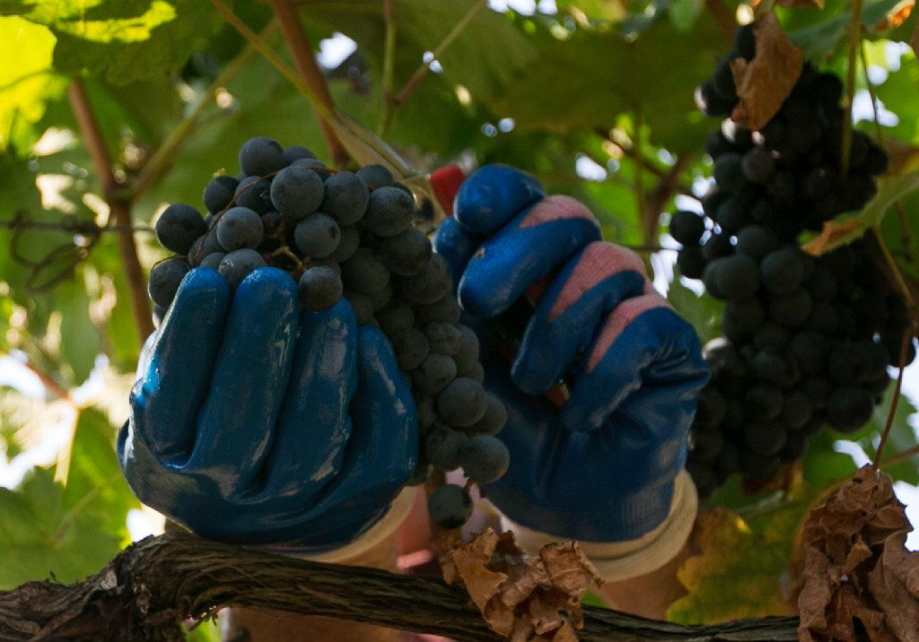 Tempranillo grapes are cut off the vine during the harvest at the Eden Hill Vineyards in Celina.