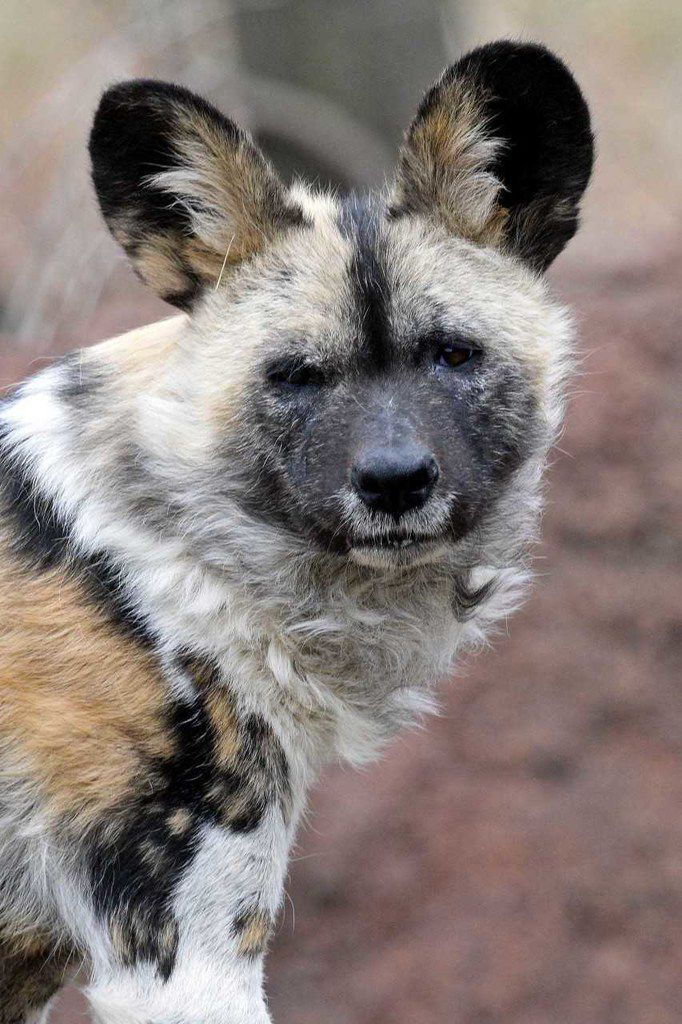 Ola, an 8-year-old female African painted dog, arrived at the Dallas Zoo on June 11.