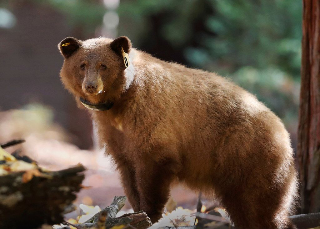 Yosemite National Park tracking daily journey of bears online