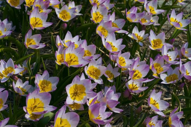 The lilac-pink flowers with deep yellow centers of Tulipa bakeri 'Lilac Wonder' weather hard rains and wind with equal aplomb. 8 inches tall, blooms mid-spring. Native to Crete.