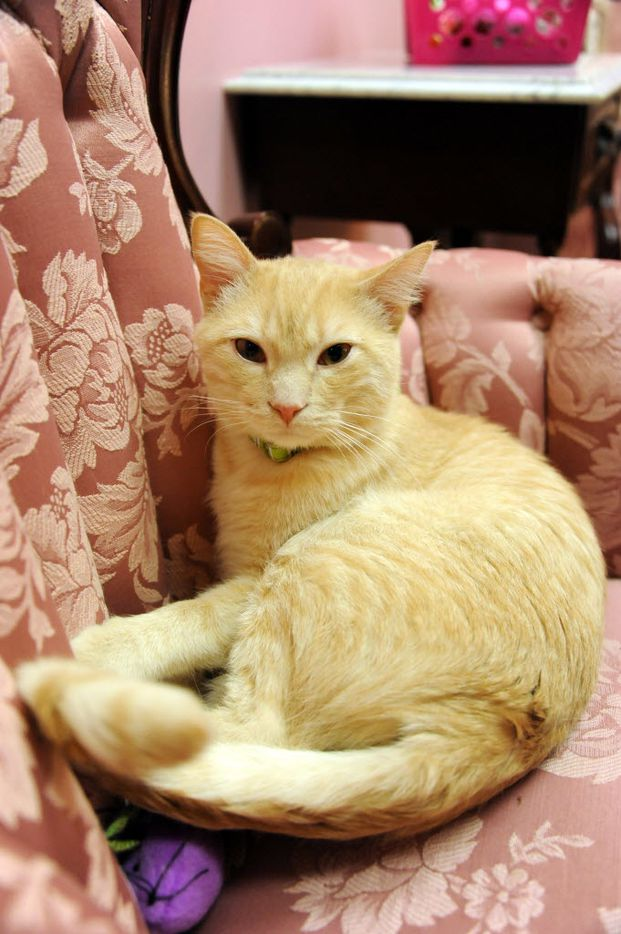 A sleepy cat relaxes on the chair at The Charming Cat Corner.