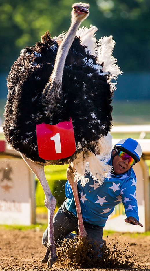 """Jockey Alex Alvarado falls at the finish line as he rides an ostrich to victory during """"Extreme Racing"""" at Lone Star Park on Saturday, April 28, 2018, in Grand Prairie, Texas. Ridden by Lone Star Park jockeys, camels, ostriches and zebras took to the track between horse races, with each animal paired with a local non-profit charity. (Smiley N. Pool/The Dallas Morning News)"""