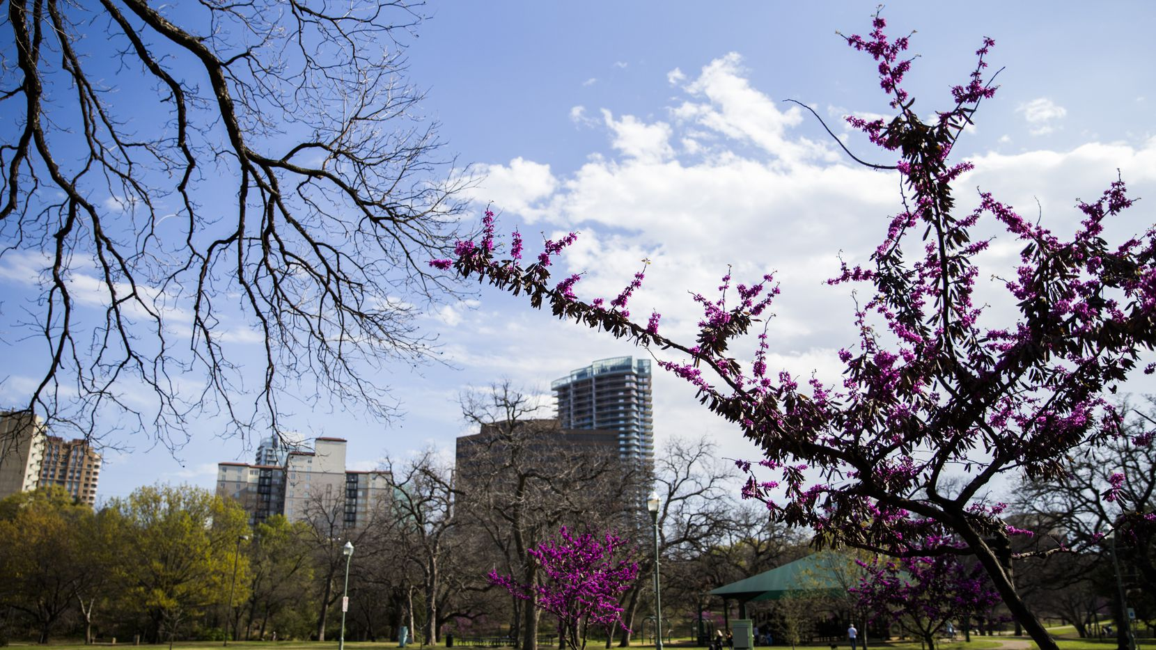 Redbud trees burst with sping color on Sunday, March 18, 2018 at Reverchon Park in Dallas. (Ashley Landis/The Dallas Morning News)