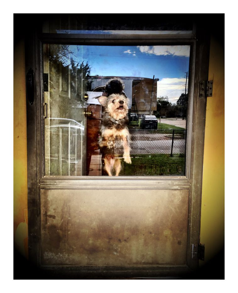 A dog gets some serious hang time while greeting the photographer at the front door of a home in Dallas.