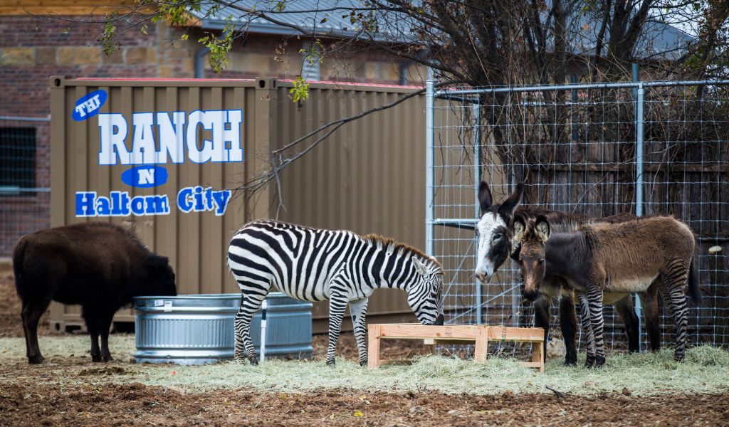 A buffalo, a zebra, a donkey and a zonkey - bred from a zebra and a donkey - outside Fuel Cityon Haltom Road in Haltom City. (Ashley Landis/The Dallas Morning News)